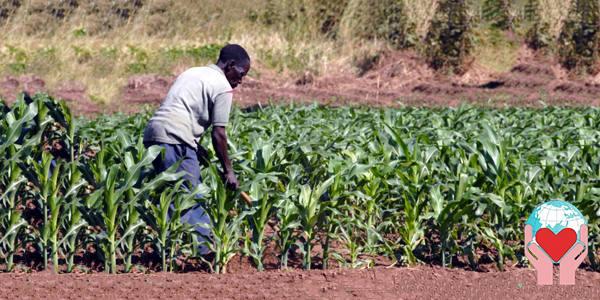 investire in agricoltura in africa coltivazione del mais